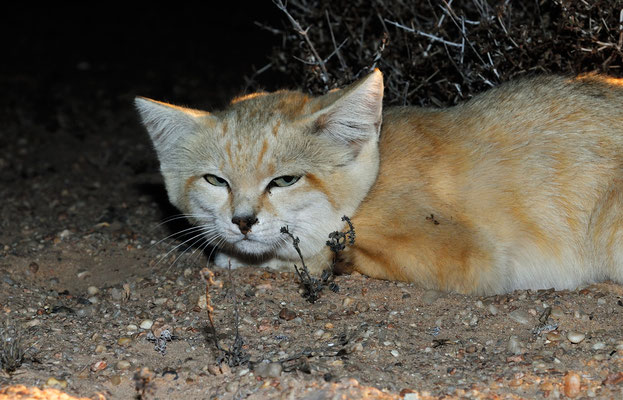 Chat des sables (Felis margarita).  Sahara atlantique ©Michel AYMERICH