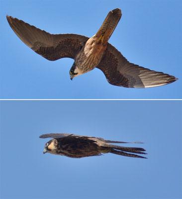 Faucons d'Éléonore (Falco eleonorae) à oued ksob, près d'Essaouira ©Michel AYMERICH
