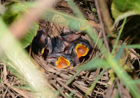 画眉 Garrulaxe hoamy ( Garrulax canorus ). A Lu'An. Province de ANHUI ©Michel AYMERICH