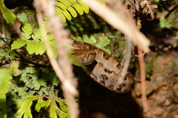Protobothrops mucrosquamata. Venomous!  Juillet 2016 ©Michel AYMERICH