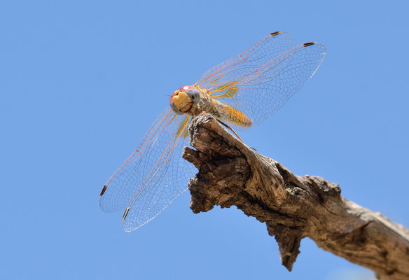 Une libellule (Sympetrum fonscolombii) femelle qui s'envole puis revient, semblant m'observer... ©Michel AYMERICH