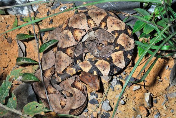 Deinagkistrodon acutus. Venomous! Octobre 2012  ©Michel AYMERICH