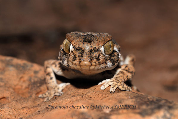 Gecko casqué (Tarentola chazaliae) @Michel AYMERICH