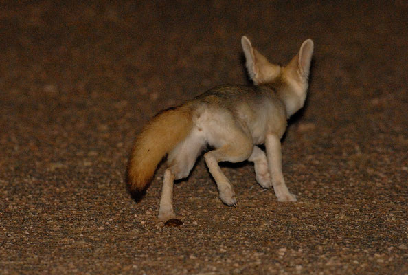 Fennec (Vulpes zerda) prenant la fuite. Région de Bir Anzaran. Région de Bir Anzaran. Sahara atlantique ©Michel AYMERICH