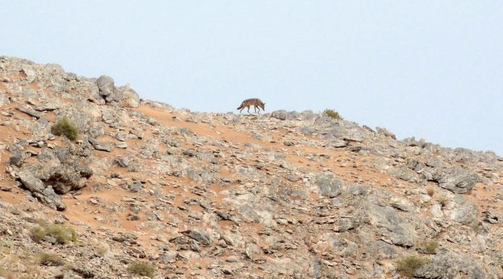 Chacal (Canis anthus) dans le massif de Leglet (région d'Aousserd). Sahara atlantique ©Michel AYMERICH