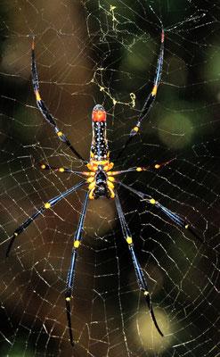 Araignée du genre Nephila. Dans le Xishuangbanna (Yunnan), Chine 2017 ©AYMERICH Michel