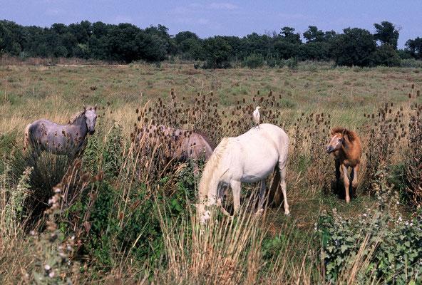 Chevaux de petite Camargue, réserve naturelle du Méjean (Hérault) © Michel AYMERICH