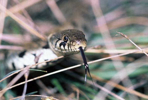 Couleuvre à collier (Natrix natrix) © Michel AYMERICH