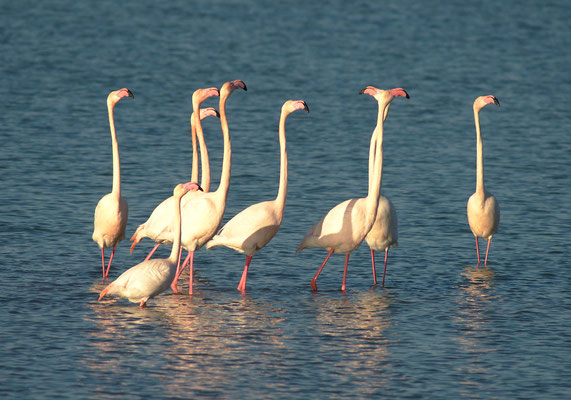 Flamants roses (Phoenicopterus roseus), Hérault ©Michel AYMERICH
