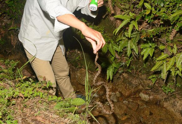 Mon guide a souhaité saisir par la queue la vipère (Protobothrops mucrosquamata), uniquement pour le plaisir. Cela permet d'avoir un ordre de grandeur... Réserve naturelle de Mangshan près de Chenzhou (HUNAN) ©Michel AYMERICH
