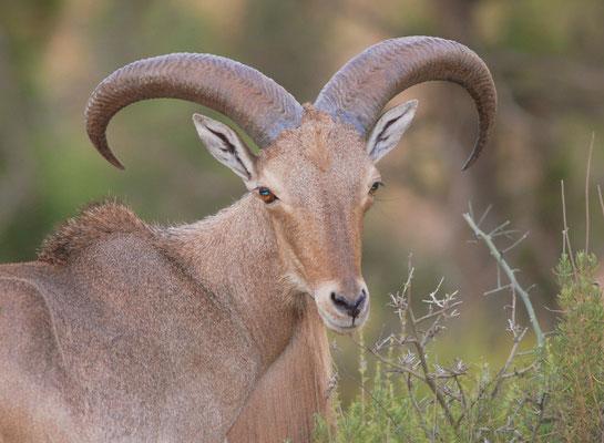 Mouflon à manchettes (Ammotragus lervia) dans l'Oriental (Maroc) ©Michel AYMERICH