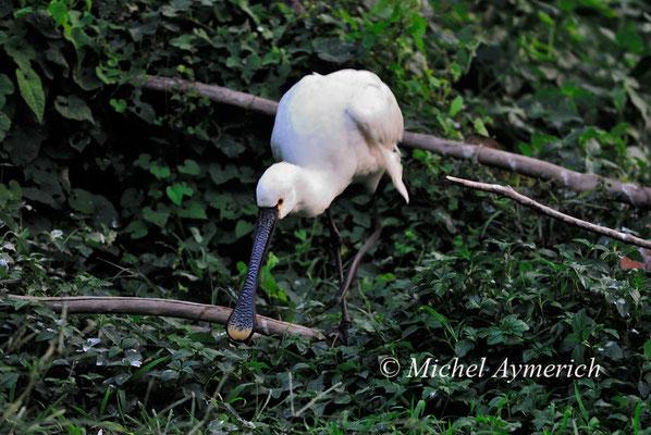 白琵鹭 Spatule blanche (Platalea leucorodia). Guanzhou, Chine 2012 ©AYMERICH Michel