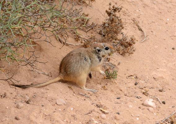 Rat des sables diurne ou Psammomys obèse (Psammomys obesus). Très abondants cette année après les pluies. ©Michel AYMERICH