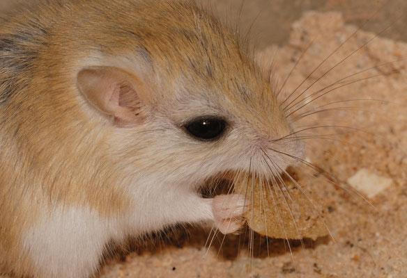Petite gerbille du Sahara? (Gerbillus gerbillus?). Sahara atlantique, près d'El Argoub ©Michel AYMERICH