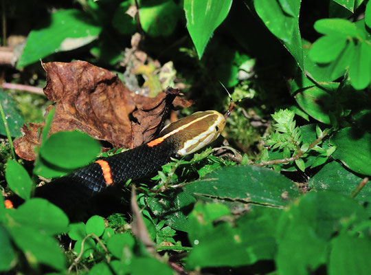 白头蝰 Vipère de Fea (Azemiops feae), Venomous!  Yuanyang (Yunnan),  juin 2017 ©Michel AYMERICH