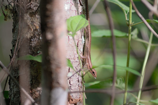Lézard de la famille des scincidés ou scincidae (squamata), Haute Guinée 2012 @Michel AYMERICH