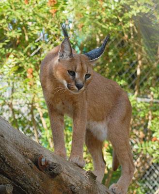Caracal  (Caracal caracal). Parc zoologique de Lunaret à Montpellier ©Michel AYMERICH
