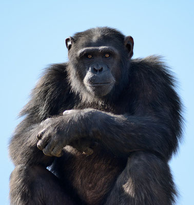 Ce chimpanzé regarde fixement le téléobjectif, indifférent à la présence d'autres visiteurs...© Michel AYMERICH