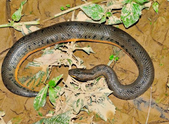 中国水蛇 (Myrrophis chinensis = Enhydris chinensis) Opistoglyphe, mais inoffensif. Guangxi, Chine 2017 ©AYMERICH Michel