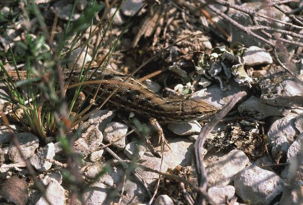 Psammodrome d'Edwards (Psammodromus hispanicus) © Michel AYMERICH
