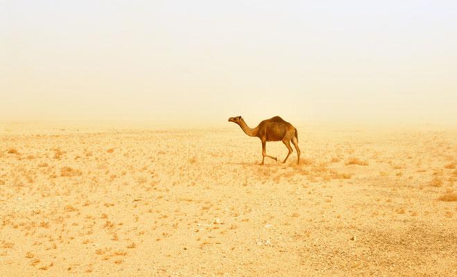 Dromadaire (Camelus dromedarius). Sahrara atlantique ©Michel AYMERICH
