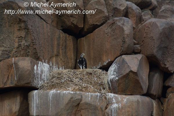 Aigle royal juvénile, une semaine avant son envol. Adrar soutouf. © Michel AYMERICH
