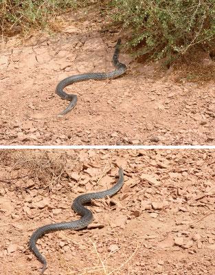 Couleuvre de Montpellier occidentale (Malpolon monspessulanus monspessulanus) mâle en fuite! Voir l'article sur cette espèce sur mon Blog (onglet correspondant). ©Michel AYMERICH