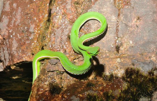Bamboo viper/Vipère des bambous (Trimeresurus stejnegeri). Venomous! ©Michel AYMERICH