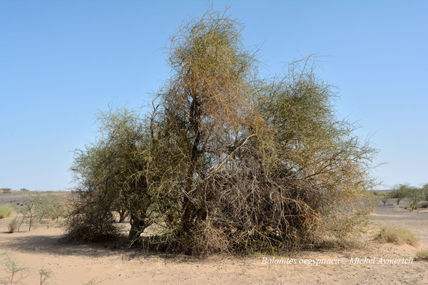 Dattier du désert (Balanites aegyptiaca) © Michel Aymerich
