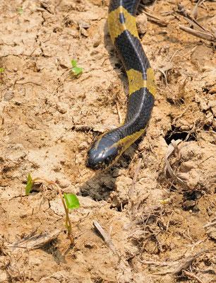 金環蛇 (Bungarus fasciatus).  Venomous! Guangxi, mai 2017 ©Michel AYMERICH