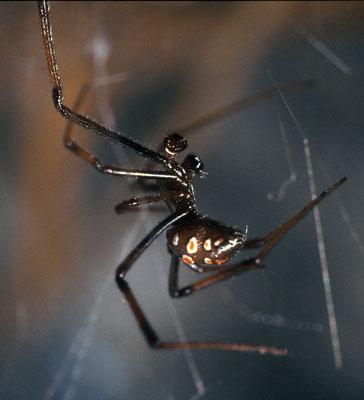 Mâle de veuve noire (Latrodectus tredecimguttatus)  Hérault ©Michel AYMERICH