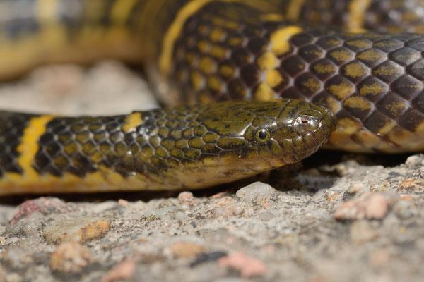 Opisthotropis cheni. Non-venomous! Juillet 2016  ©Michel AYMERICH