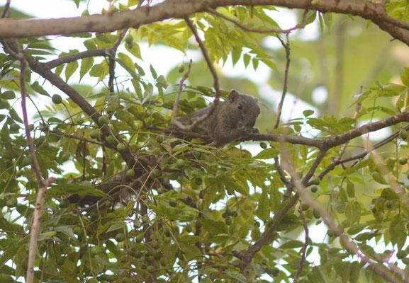 Pallas's squirrel/Écureuil à ventre rouge (Callosciurus erythraeus).  Province de ANHUI  ©Michel AYMERICH