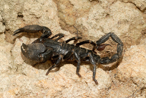 Pandinus imperator, le plus grand scorpion d'Afrique et du monde © Michel Aymerich