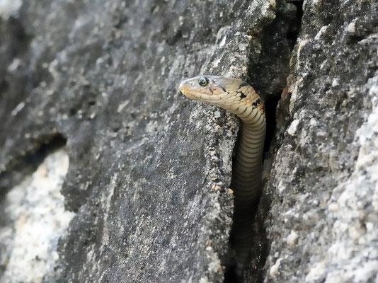 虎斑颈槽蛇(Rhabdophis tigrinus) Nali (Guangxi).  Novembre 2018 ©Michel AYMERICH