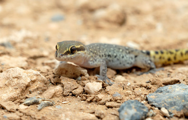 Saurodactyle de Mauritanie (Saurodactylus brosseti ), Maroc. ©Michel AYMERICH