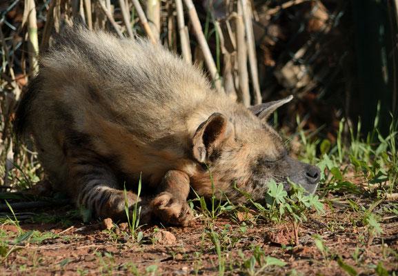 Hyène rayée (Hyaena hyaena). Parc zoologique de Rabat ©Michel AYMERICH