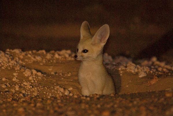 Fennec (Vulpes zerda) Région de Bir Anzaran. Région de Bir Anzaran. Sahara atlantique ©Michel AYMERICH