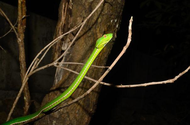 Bamboo viper/Vipère des bambous (Trimeresurus stejnegeri). Venomous! Juillet 2016  ©Michel AYMERICH