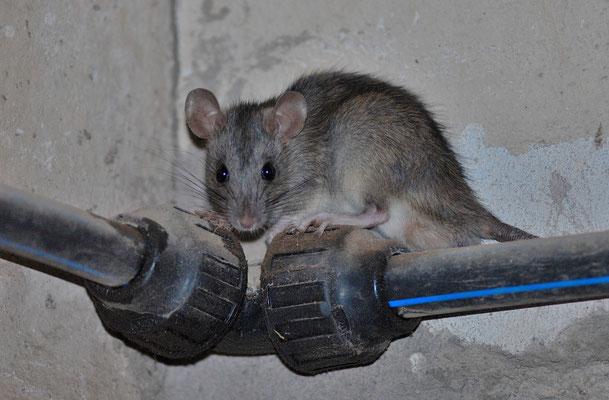 Jeune  rat noir  (Rattus rattus ). Figuig  ©Michel AYMERICH