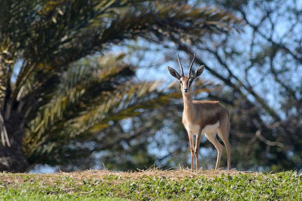 Gazelle dorcas, intriguée par le téléobjectif © Michel AYMERICH