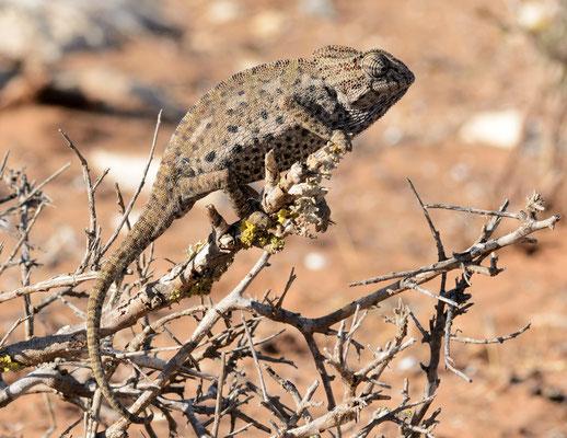 Caméléon commun (Chamaeleo chamaeleon) à Ghazoua, près d'Essaouira ©Michel AYMERICH