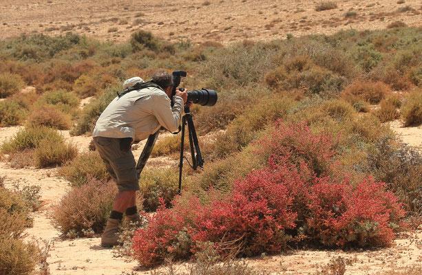 Je tente de photographier des dromoïques du désert (Scotocerca inquieta) Photo Gérard VIGO