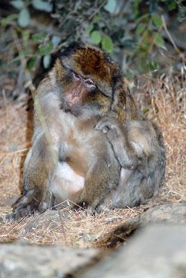 Macaque de Barbarie (Macaca sylvanus). Forêt de cèdres, près d'Azrou ©Michel AYMERICH