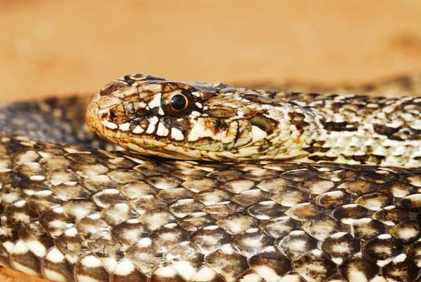 Couleuvre de Montpellier (Malpolon monspessulanus saharaatlanticus) femelle.  ©Michel AYMERICH