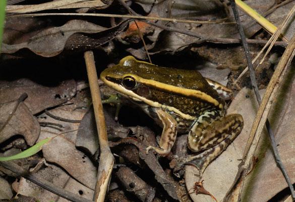 Espèce de grenouille © Michel Aymerich