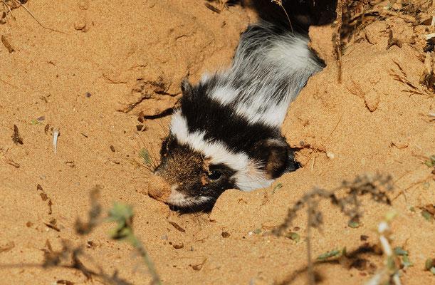 Zorille du Sahara (Ictonyx libyca). . Sahara atlantique ©Michel AYMERICH