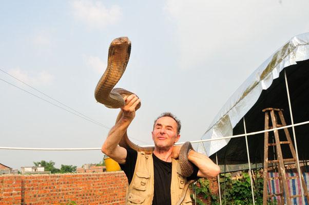 眼镜王蛇. Cobra royal (Ophiophagus hannah) âgé de cinq ans dans une ferme d'élevage. Sud de Nanning. Guangxi, Chine 2017 ©AYMERICH Michel