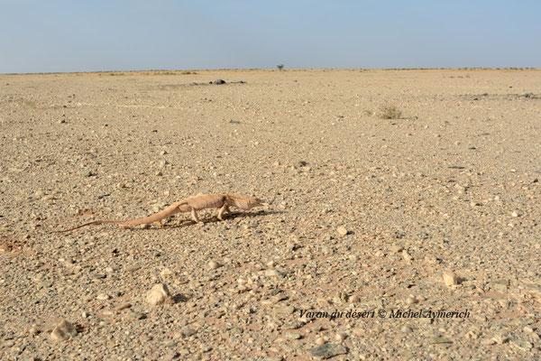 Varan du désert en maraude © Michel Aymerich
