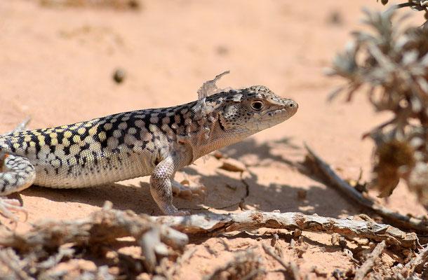 Acanthodactylus busacki (mâle) ©Michel AYMERICH